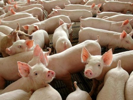 Importar porco dos EUA é desastroso para o Brasil